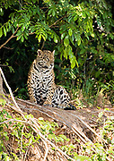 Jaguar, Panthera onca, Pantanal, Brazil, CITES: Appendix I. IUCN: Near Threatened