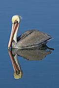 Brown Pelican in full breeding colors with reflection (Pelecanus occidentalis) Bolsa Chica Wetlands, California