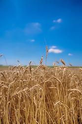 Detalhe de uma lavoura pronta para a colheita do trigo. FOTO: Jefferson Bernardes / Agência Preview