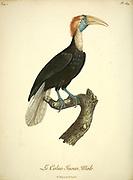 Juvenile Hornbill from the Book Histoire naturelle des oiseaux d'Afrique [Natural History of birds of Africa] Volume 5, by Le Vaillant, Francois, 1753-1824; Publish in Paris by Chez J.J. Fuchs, libraire 1799