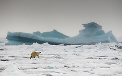 Polar bear (Ursus maritimus) in the drifting ice north of Svalbard, Norway