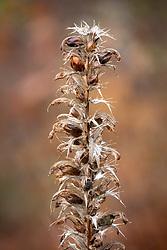 Acanthus seedhead