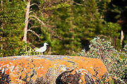 A sea gull rests on a lichen covered rock in Voyageurs National Park, part of the Border Lakes region of northern Minnesota and northwestern Ontario. This forested, lake-filled landscape covers 5.1 million acres surrounding Quetico Provincial Park, Voyageurs National Park and the Boundary Waters Canoe Area Wilderness. This region is part of the Superior National Forest in northeastern Minnesota.