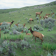 Elk cows and calves in sage brush prairie during the summer.