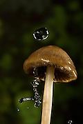 A common mushroom (Panaeolina foenisecii) in rain.
