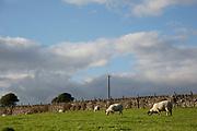 Sheep grazing on farm land in Grassington, North Yorkshire, England, UK.