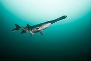 Paddlefish<br /> <br /> Jennifer Idol/Engbretson Underwater Photography