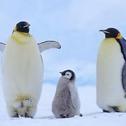 Emperor penguin (Aptenodytes forsteri) chick between two adults. Atka Bay, Antarctica