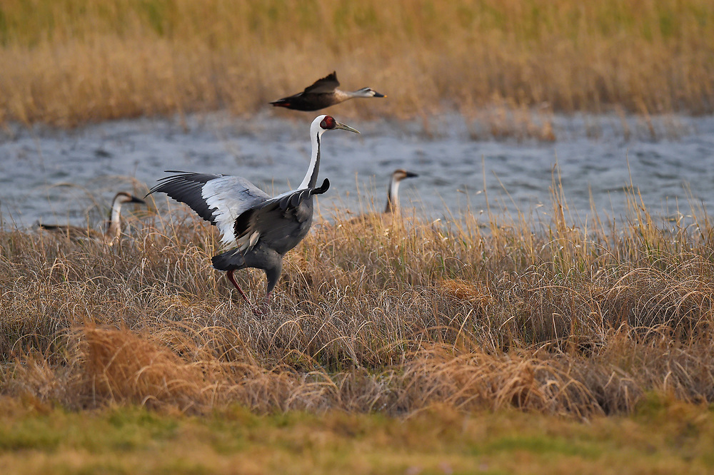 White-naped Crane, Grus vipio, with overflying Spot-billed Duck, Anas poechilorhyncha, and in the background Swan Geese, Anser cygnoides, Inner Mongolia, China