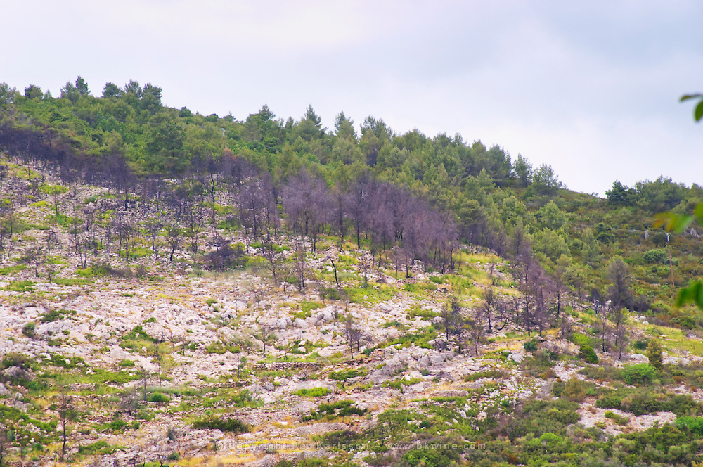 Last year's forest fire with charred trees, but this year it has started to become green again. St Jean de Fos village. Languedoc. Garrigue undergrowth vegetation with bushes and herbs. France. Europe.