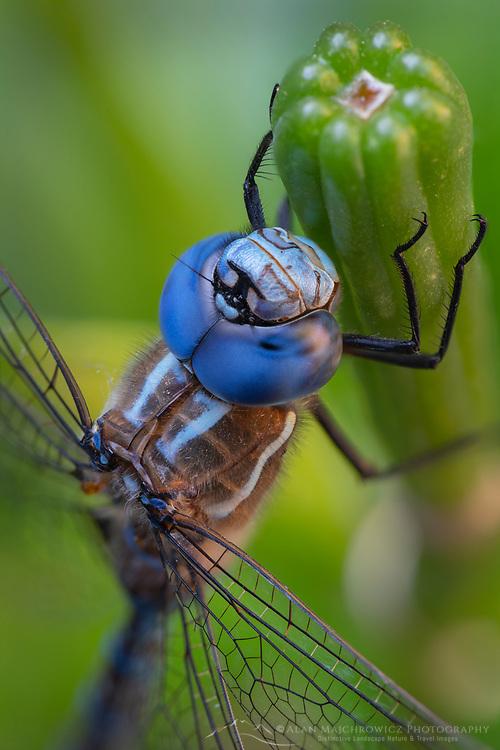 Blue-eyed Darner (Rhionaeschna multicolor) Dragonfly