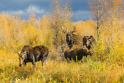 A large bull moose staying close to three cows during the fall rut in Grand Teton National Park.