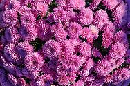 Flowers, Bay View Farms and Market,  Aquebogue, NY