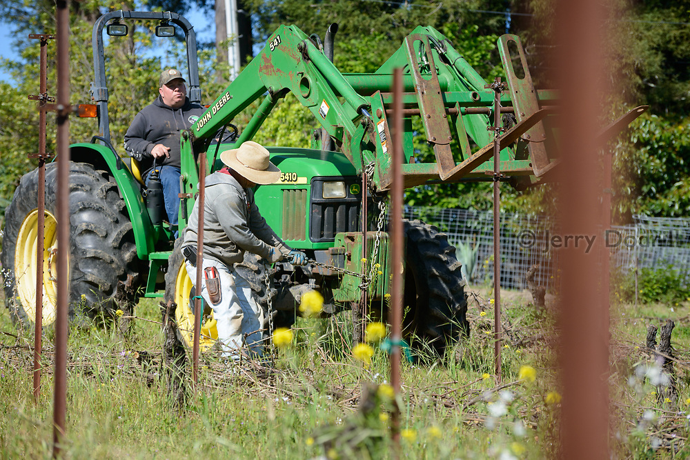 Workers remove stakes during removal of an old vineyard.