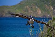 Isla Margarita_VEN, Venezuela...Pelicanos (Pelecanus occidentalis) no balneario de Isla Margarita, Venezuela...Pelicans (Pelecanus occidentalis) in the resort of Isla Margarita, Venezuela...Foto: JOAO MARCOS ROSA / NITRO