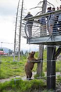 A brown bear is waiting for food at the Alaska Wildlife Conservation Center, Portage, Alaska<br /> <br /> Photographer: Christina Sjögren<br /> <br /> Copyright 2019, All Rights Reserved