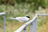 Common tern (Sterna hirundo), Walthamstow Wetlands, London E17, UK © Rudolf Abraham