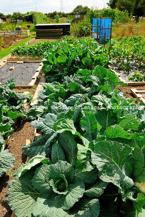 Cauliflower Growing in Allotments, Essex, Britain - August 2009