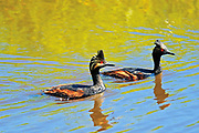 Eared grebes in pond (Podiceps nigricollis)<br /> Somerset<br />Manitoba<br />Canada
