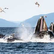 North Pacific humpback whales (Megaptera novaeangliae kuzira) engaged in cooperative bubble-net feeding to capture herring, with sea gulls taking advantage of the whales' hard work. The whale with its mouth facing toward the camera is the lead individual.