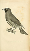 Blue Berry-Eater (Procnias Ventralis) from volume XIII (Aves) Part 2, of 'General Zoology or Systematic Natural History' by British naturalist George Shaw (1751-1813). Griffith, Mrs., engraver. Heath, Charles, 1785-1848, engraver. Stephens, James Francis, 1792-1853 Published in London in 1825 by G. Kearsley