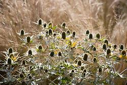 Eryngium giganteum 'Miss Willmott's Ghost' with Stipa tenuissima