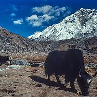 A yak grazes below mount Nuptse, near Everest base camp in the Khumbu region of Nepal's Himalaya.