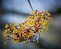 Maple Tree Flower Buds. Image taken with a Nikon 1 V3 camera and 70-300 mm VR lens.