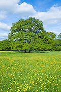 English Oak tree, Quercus robur, in a field of buttercups in summer in Swinbrook, the Cotswolds, Oxfordshire, UK