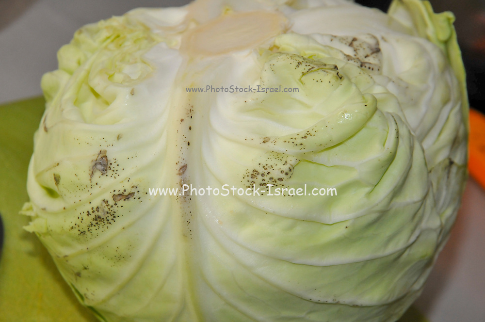 Anthracnose on a cabbage. Anthracnose is a mould that infects vegetables and plants. It initially appears on the skin surface as small water-soaked spots before spreading and deepening into the inner tissues of the plant. Eventually large rotted holes form, allowing other organisms to enter the fruit and rot it completely.