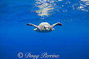 olive ridley sea turtle, Lepidochelys olivacea, in open ocean, offshore from southern Costa Rica, Central America ( Eastern Pacific Ocean )