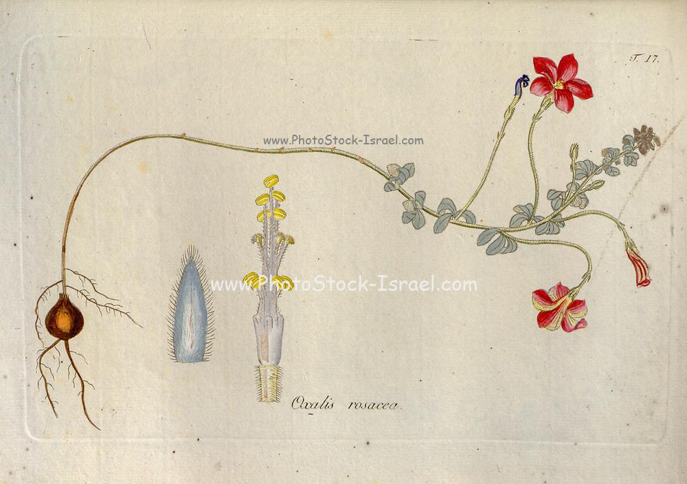 Woodsorrel (Oxalis rosacea). Illustration from 'Oxalis Monographia iconibus illustrata' by Nikolaus Joseph Jacquin (1797-1798). published 1794