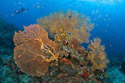 A diver films an immense school of jacks beyond a cluster of Gorgonian corals. Narcondam Island, Andaman Islands, Andaman Sea, India