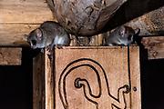 Grey mouse lemur (Microcebus murinus)<br /> Kirindy<br /> Southwestern Madagascar<br /> MADAGASCAR<br /> ENDEMIC