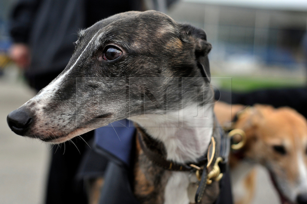 ©London News pictures. 17.02.2011. Retired greyhounds at Wimbledon Stadium. Iwan Thomas joins the Retired Greyhound Trust (RGT) today (Thurs)to highlight the plight of thousands of retired dogs needing homes. The trust currently has 1,000 dogs needing homes and a further 4,000 expected this year. The dogs only need two 20min walks a day Greyhound UK has teamed up with the RGT as its charity for the for the year. Picture Credit should read Stephen Simpson/LNP