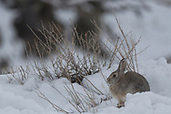 A Desert cottontail on a spring morning, Badlands