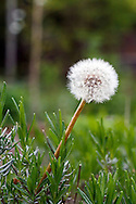 A Dandelion (Taraxacum officinale) flower turns to seed in a bed of Lavender