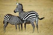 Subadult Common Zebra (Equus burchelli) still drinking milk from his mother.  Ngorongoro Crater, Tanzania.