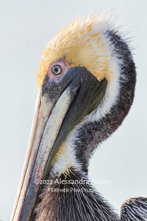 Brown pelican male shows off colorful plumage while drying wings on fishing pier after diving for fish.