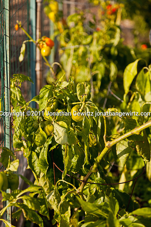 Bell pepper plants in a community garden. WATERMARKS WILL NOT APPEAR ON PRINTS OR LICENSED IMAGES.