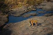Wild Bengal tiger walking over rocks, Ranthambore National Park, Rajasthan, India