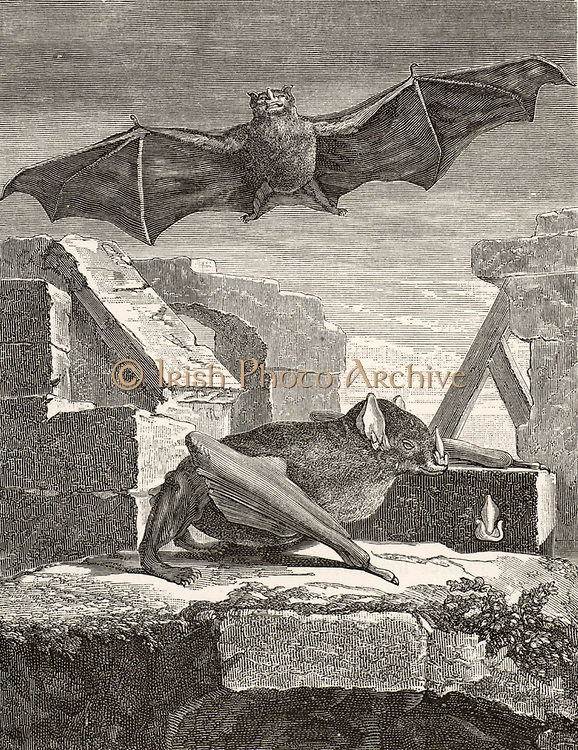 The Great Vampire Bat from Guyana. Engraving from 'Histoire Naturelle' by George-Louis Leclerc, Comte de Buffon  (Paris, 1749-1767).