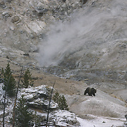 Grizzly bear (Ursus arctos horribilis) crossing Roaring Mountain thermal feature during late fall. Yellowstone National Park, Wyoming