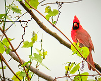 Northern Cardinal. Image taken with a Fuji X-T3 camera and 200 mm f/2 lens and 1.4x teleconverter.
