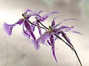 Fine art photograph of purple orchid