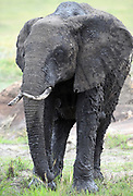 An African elephant (Loxodonta  africana), covered in fresh wet mud as it leaves a muddy wallow.  . Serengeti National Park, Tanzania.