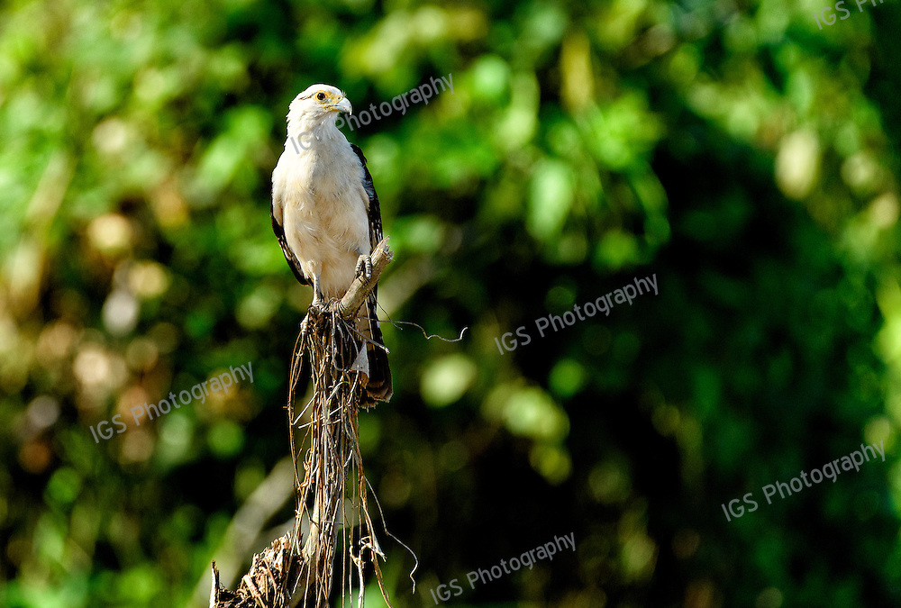 A Yellow-headed Caracara, Milvago chimachima, perched on a tree branch along the Amazon River