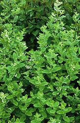 Pineapple Mint - Mentha suaveolens 'Variegata' syn. M. rotundifolia 'Variegata'
