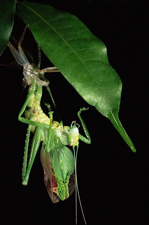 Narrow-winged Katydid Moulting<br />Tettigonidae<br />Yasuni National Park, Amazon Rain Forest, ECUADOR<br />South America