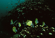 """Butterfly fish swim over the coral in the beautiful waters surrounding Coiba Island, Panama. The former penal colony is now  a """"permit only"""" area to visit and explore. In 2005 it became a UNESCO World Heritage Site due to its remarkable proliferance of rare corals and abundance of marine life."""